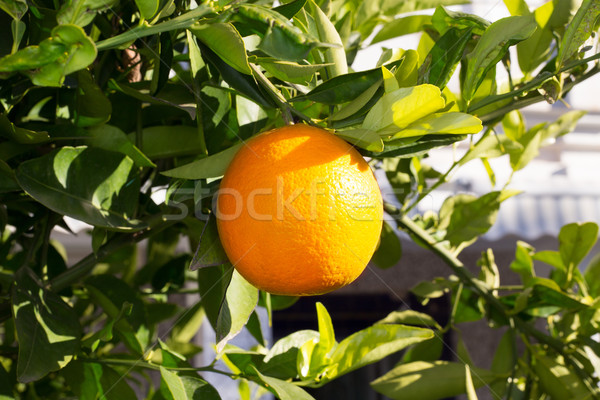Gyümölcs narancsfa akasztás érett mediterrán Spanyolország Stock fotó © lunamarina