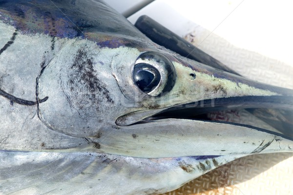Sailfish face macro closeup detail eye and mouth Stock photo © lunamarina