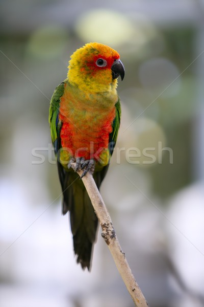 Aratinga solstitialis called Sun Conure little  parrot Stock photo © lunamarina