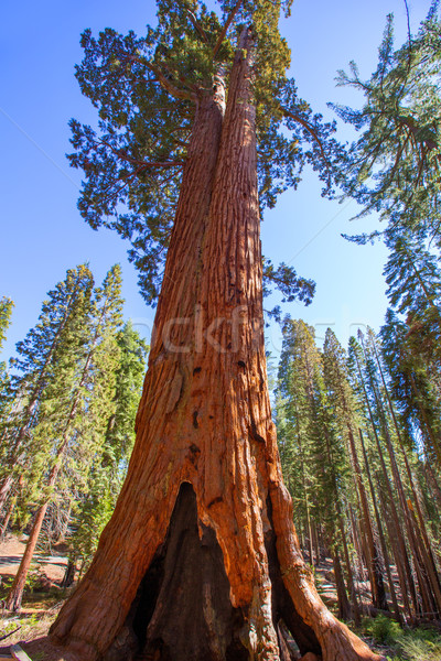 Sequoias in Mariposa grove at Yosemite National Park Stock photo © lunamarina