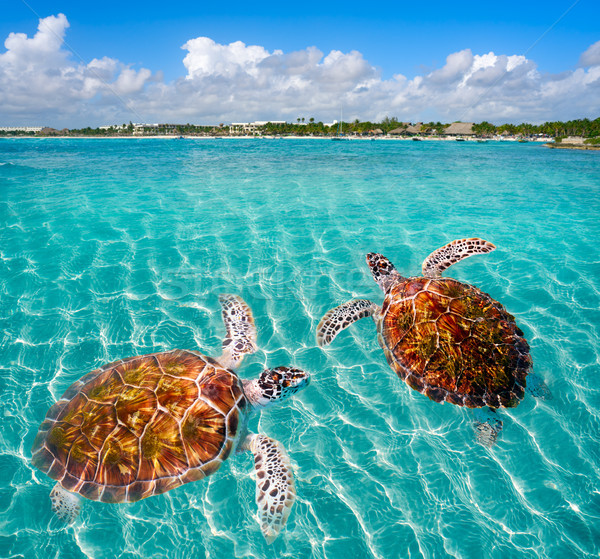 Stock photo: Akumal beach turtles photomount Riviera Maya