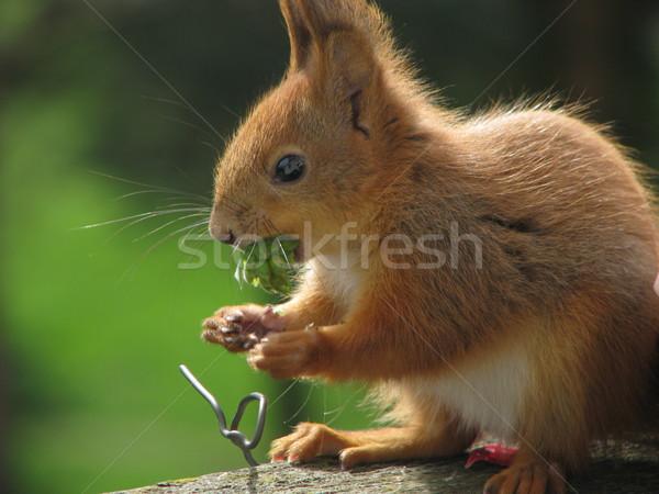 Scoiattolo mangiare foto due scoiattoli giocare Foto d'archivio © LVJONOK