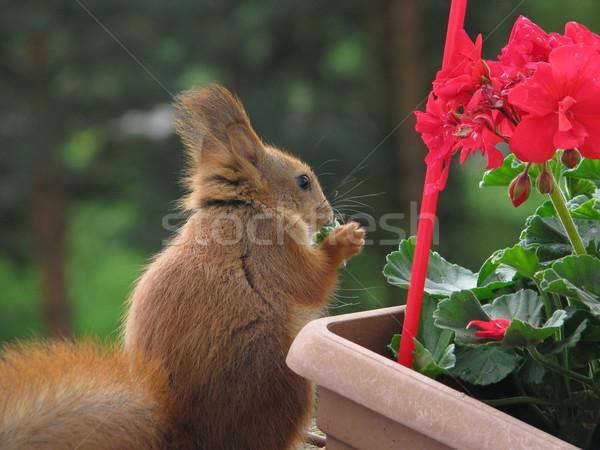 Mókus eszik fotó kettő mókusok játszik Stock fotó © LVJONOK