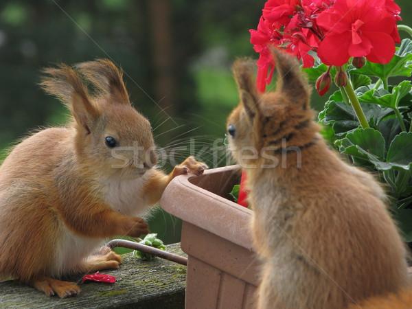 Mókus fotó kettő mókusok eszik játszik Stock fotó © LVJONOK