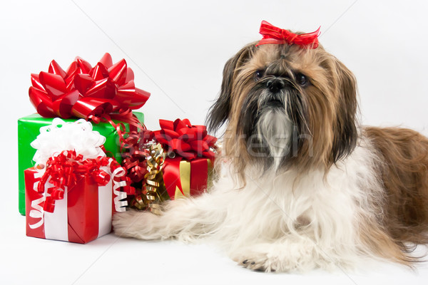 Shih Tzu Christmas Stock photo © LynneAlbright