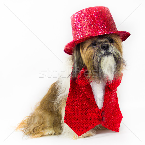 Dog in a Red Party Outfit Stock photo © LynneAlbright