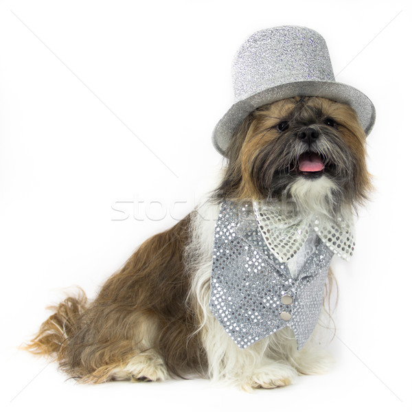 Dog in a Silver Party Outfit Stock photo © LynneAlbright
