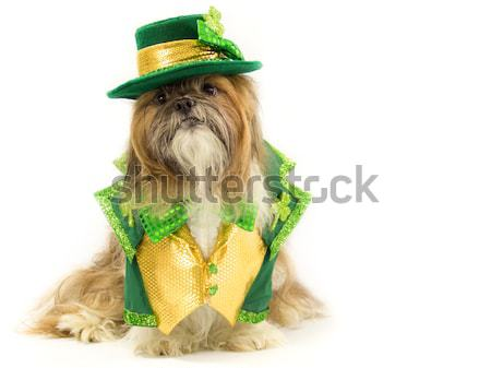 Shih Tzu in a Gold Fancy Costume Stock photo © LynneAlbright