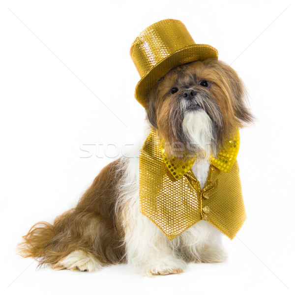 Dog in a Gold Party Outfit Stock photo © LynneAlbright