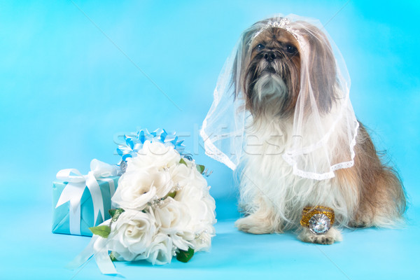 Shih Tzu as a Bride Stock photo © LynneAlbright