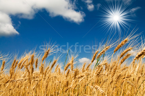 Summer field with full grown golden grain. Stock photo © lypnyk2