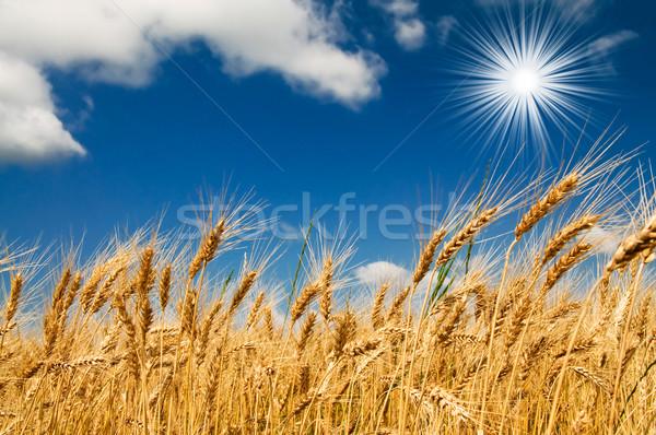 Zomer veld vol gegroeid gouden graan Stockfoto © lypnyk2