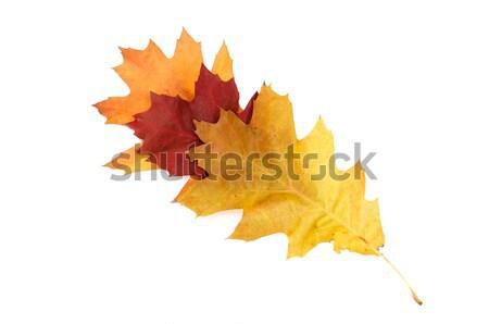 Splendid colorful leaves on a white. Stock photo © lypnyk2