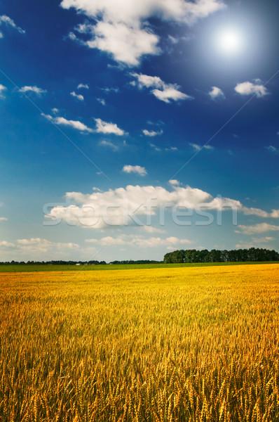 Amazing yellow field of wheat. Stock photo © lypnyk2