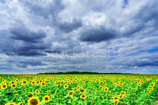 Napraforgók mező nyáridő csodálatos nyár viharos Stock fotó © lypnyk2