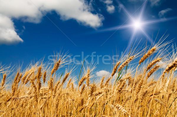 Summer field with full grown golden grain. Stock photo © lypnyk2