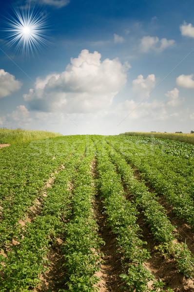 Patate impianti nice agricola campo crescita Foto d'archivio © lypnyk2