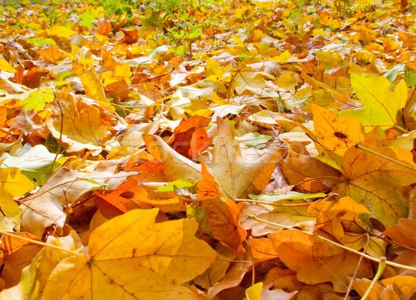 ősz szimfónia erdő őszi levelek fedett föld Stock fotó © lypnyk2