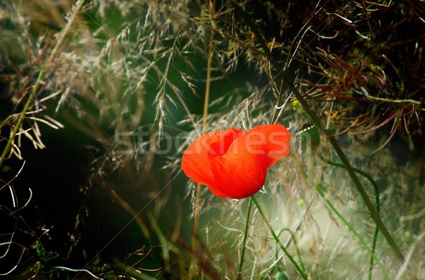 Stok fotoğraf: Eğlence · haşhaş · çayır · güzel · çim · çiçek