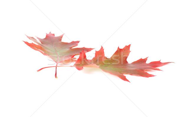 Splendid colorful leaves. Stock photo © lypnyk2