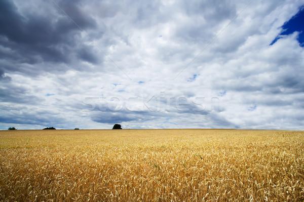 Campo grano cielo blu nubi Foto d'archivio © lypnyk2