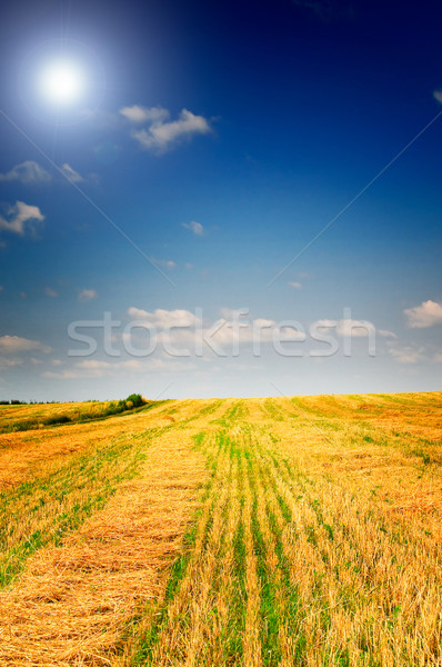 Mező búza elképesztő kék ég fehér felhők Stock fotó © lypnyk2