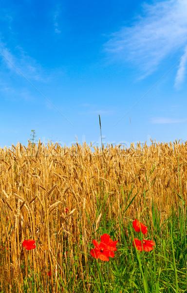 Splendid poppies and ripe wheat. Stock photo © lypnyk2