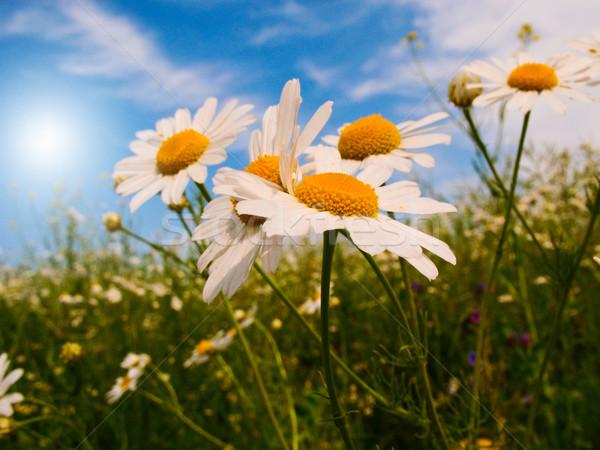 Wonderful daisies against blue sky background. Stock photo © lypnyk2