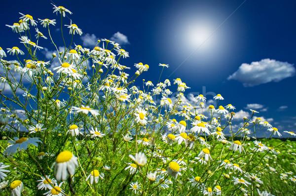 Silence camomiles,sunrise and blue sky. Stock photo © lypnyk2