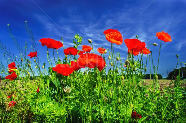 Gyönyörű pipacsok csodálatos kék ég felhők levél Stock fotó © lypnyk2