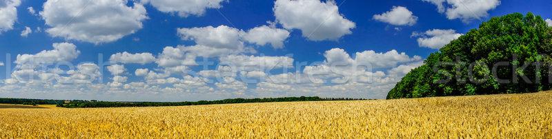 Mező tele arany búza nyáridő elképesztő Stock fotó © lypnyk2