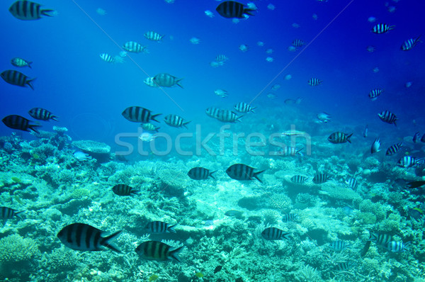 Colorful corals, fishes of Red Sea.  Egypt. Stock photo © lypnyk2