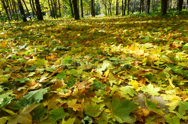 Golden autumn came in the grove. Stock photo © lypnyk2