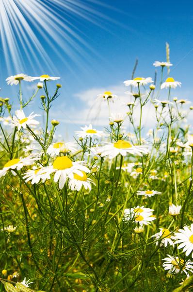 Silence camomiles,sun and blue sky. Stock photo © lypnyk2