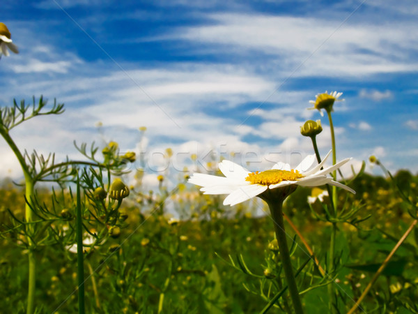 Silence, camomiles and blue sky by spring. Stock photo © lypnyk2