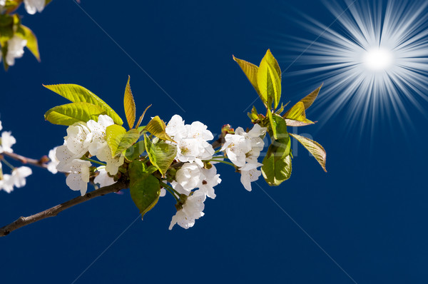 Astonishing sun and blooming cherry branch  by springtime. Stock photo © lypnyk2