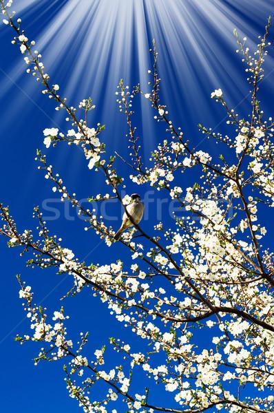 Pardal surpreendente sol ameixa primavera Foto stock © lypnyk2