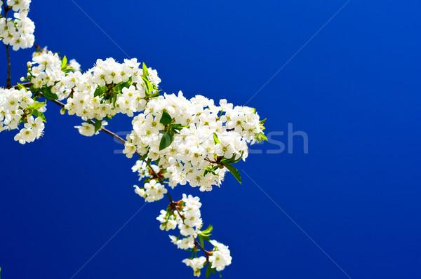 Beautiful,colorful plum tree blossom.  Stock photo © lypnyk2