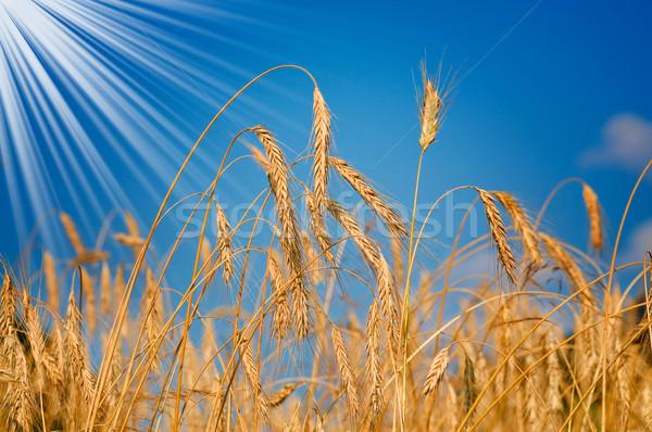 Amazing ripe wheat. Stock photo © lypnyk2