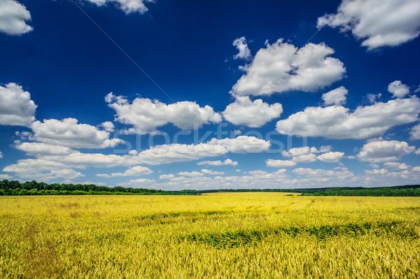 Field full of the golden wheat. Stock photo © lypnyk2