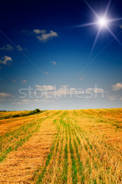 Harvest of wheat and stubble by summertime. Stock photo © lypnyk2