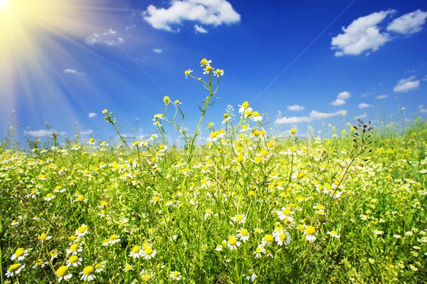Stock fotó: Mező · kék · ég · jókedv · nap · csodálatos · százszorszép