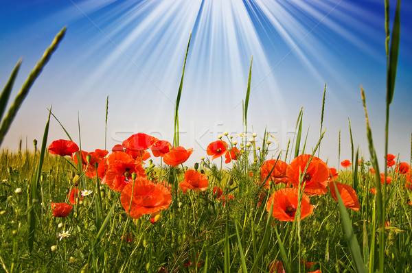 Fantastic sunbeams above field full red poppies. Stock photo © lypnyk2