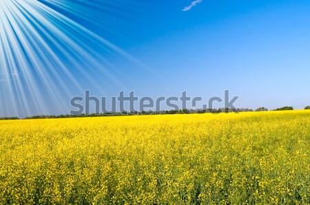 Wonderful house among golden rapeseed field and fun sun. Stock photo © lypnyk2
