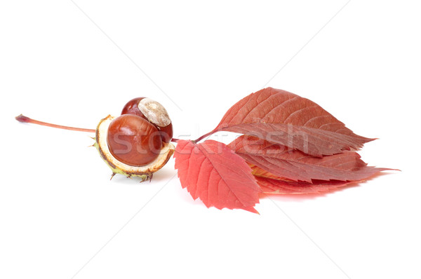 Autumn view of chestnuts and leaves on a white. Stock photo © lypnyk2
