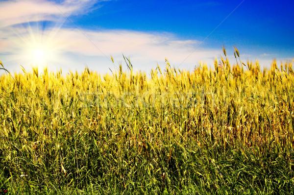 Splendid blue sky and golden field. Stock photo © lypnyk2