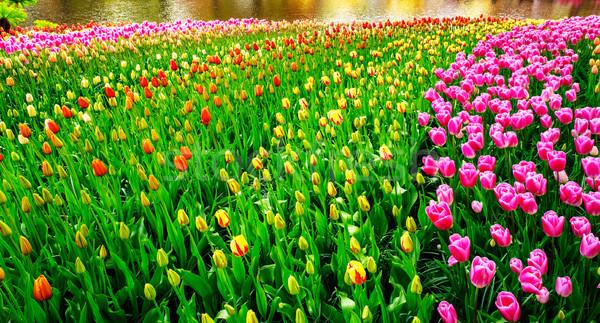 Wonderful tulips spectacle at the  Keukenhof Gardens. Stock photo © lypnyk2