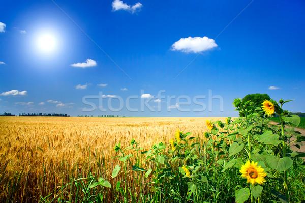 Field full of golden wheat seed.  Stock photo © lypnyk2