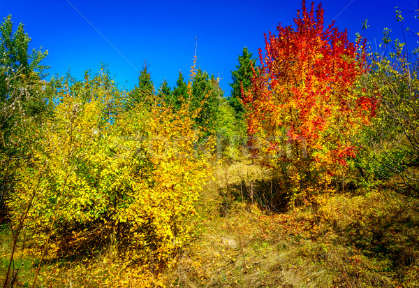 Wonderful golden autumn in the nice copse. Stock photo © lypnyk2