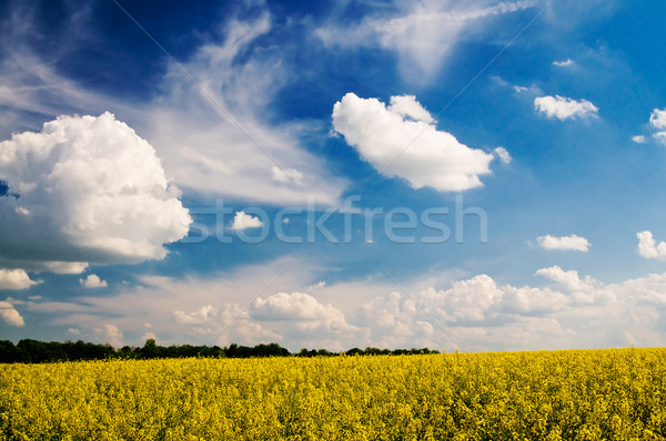 Golden rapeseed field and white clouds. Stock photo © lypnyk2